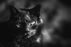 Je ne suis pas d'humeur (Un instant.) Tags: chat cat eyes bnw noiretblanc 85mm 18