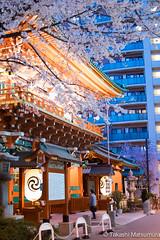 Kanda Myojin Shrine (takashi_matsumura) Tags: kanda myojin shrine chiyodaku tokyo japan ngc nikon d5300 cherry blossoms 桜 神田明神 千代田区 東京都 afs dx nikkor 35mm f18g
