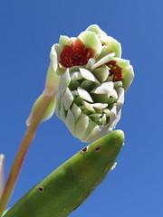 Pachyphytum viride