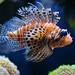 Rotfeuerfisch_08-03-19_001 3