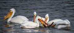 American White Pelican (Pelecanus erythrorhynchos) (mesquakie8) Tags: bird pelican swimmingandfeeding attemptingtoswallowalargefish adults americanwhitepelican pelecanuserythrorhynchos awpe rockcutstatepark winnebagocounty illinois 3930