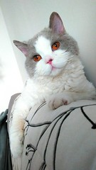 Neo (Catedolls) Tags: chat cat pet selkirk rex