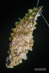 Lynx spider (Hamataliwa sp.) - DSC_3792 (nickybay) Tags: singapore admiraltypark macro hamataliwa lynx spider oxyopidae babies spiderlings eggsac