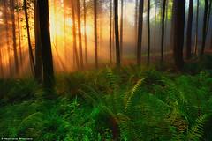 Into the Wild (Hector Prada) Tags: spring primavera forest bosque golden dorado sunlight sol shadows mist bruma fog niebla tree árbol woods idyllic magic dreamy nature naturaleza paísvasco basquecountry