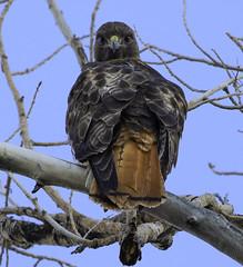 Red-tailed Hawk (raineys) Tags: redtailedhawk raptor nature wildlife bird bishop california specanimal
