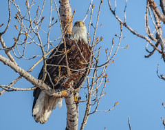 Good Morning Eagle (Neil_Wagner) Tags: eagle bald montana bird birdofprey tree