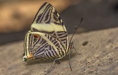 Mosaic Butterfly (Torok_Bea) Tags: beautiful butterfly papilion pillangó sigma sigma105 sigma105mm wonderful nikon nikond7200 natur nature nikond magicwings mosaicbutterfly mariposa lepidoptera
