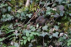 Eating ivy (PhotoCet) Tags: photocet mammal vole watervole ivy eating feeding bank