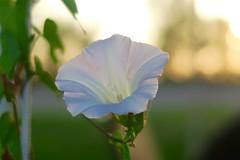 Gloire du Matin (nicoleforget) Tags: verdure ciel fleur glory morning lumière