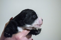 Pup (Alasdaircrawford) Tags: pup puppy pupper staffie staffordshire staffy dog doggo canine english bulldog bull cute young new aww