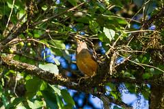 Olive Thrush, Magoebaskloof, Limpopo, Dec 2018 (roelofvdb) Tags: 2019 577 date december limpopo magoebaskloof olivethrush place southernafricanbirds thrush thrusholive year