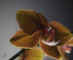I bought my own ... (bd168) Tags: beautiful beauty beauté belle orchidée orchid orange translucide translucent bokeh coeur heart em10markii m1240mmf28pro fleurs flowers plantes plants backlighting