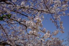 Cherry Blossom (yamabuki***) Tags: dsc58682 cherryblossom 桜 横浜イングリッシュガーデン