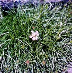 Lomelosia graminifolia (L.) Greuter & Burdet  Grasblättrige Skabiose grass-leaved scabious (Spiranthes2013) Tags: lomelosiagraminifolialgreuterburdet grasblättrigeskabiose grassleavedscabious scabiosagraminifolia scabiosa skabiose kfwolfstetter deutschland diaarchiv diascan pflanze plant pflanzendias 6x6dia 6x6 scan becker bayern bavaria germany asteriden asterids euasteriden euasterids eudicots eudicosiden lomelosia kardengewächse dipsacales kardenartige dipsacoideae geisblattgewächse caprifoliaceae plantae angiosperms angiospermen 6x6dias