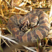 Cottonmouth Snake 3346