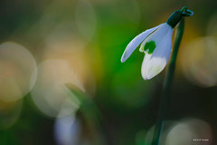 Perce-neige (jpto_55) Tags: fleur perceneige proxi bokeh fuji fujifilm xt20 omlens om50mmf2macro hautegaronne france