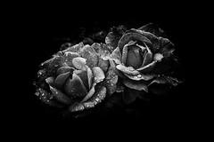 Twins (jantoniojess) Tags: twins flower flores flor flowers petal pétalos gotasdeagua gota drops drop blancoynegro blackandwhite monocromático monochrome rosas rose nikon nikond40 nostalgia