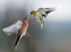 "Chaffinch and Siskin • <a style=""font-size:0.8em;"" href=""http://www.flickr.com/photos/56213560@N00/46812653324/"" target=""_blank"">View on Flickr</a>"