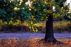 Déjà vu (R. Kurosawa) Tags: oak tree sunset grass leaves