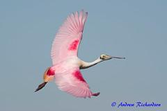 Spoonbill flyby (Andrew's Wildlife) Tags: spoonbill flight bird