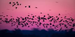 Crane Dawn (jeff_a_goldberg) Tags: platteriver gruscanadensis spring wildlife sunrise kearney bif crane bird fortkearnystaterecreationarea centralplatterivervalley silhouette sandhillcrane birdinflight nebraska nature gibbon unitedstatesofamerica us