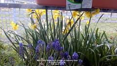 Mini-Daffs flowering in trough on balcony floor & Grape Hyacinths 13th April 2019 (D@viD_2.011) Tags: minidaffs flowering trough balcony floor grape hyacinths 13th april 2019