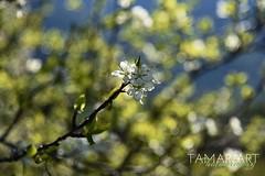 Blühtenpracht (tamaraart-photography) Tags: nikon nikond750 bündnerherrschaft graubünden bündnerland fläsch baum natur blühtenpracht blühten blühte
