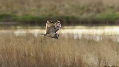 passing through (blackfox wildlife and nature imaging) Tags: nikon d300s sigma150600c shortearedowl raptor birdsofprey bif deeestuary wirral wildlife