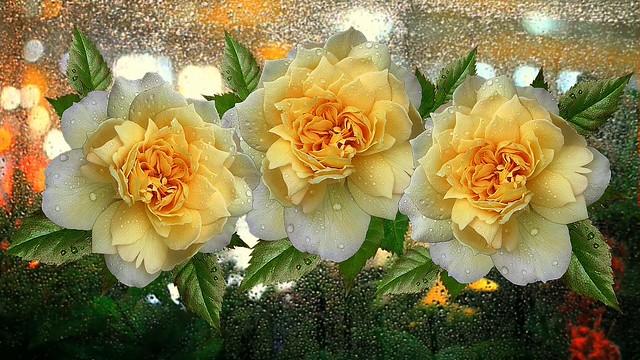 Обои капли, цветы, дождь, розы, букет, желтые картинки на рабочий стол, раздел цветы - скачать