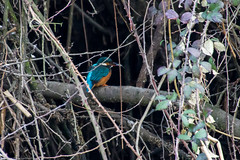 Kingfisher (Alcedo atthis) (BiteYourBum.Com Photography) Tags: dawnandjim dawnjim biteyourbum biteyourbumcom copyright©2019biteyourbumcom copyright©biteyourbumcom allrightsreserved canoneos7d sigma50500mmf4563dgoshsm apple imac5k lightroom6 manfrotto055cxpro3tripod manfrotto804rc2pantilthead loweproprorunner350aw uk unitedkingdom gb greatbritain england dorset blandfordforum blandford blandfordsaintmary riverstour stour stourmeadow kingfisher alcedo atthis alcedoatthis