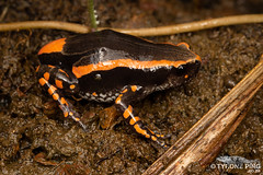 Phrynomantis bifasciatus - Red Banded Rubber Frog. (Tyrone Ping) Tags: phrynomantis bifasciatus red banded rubber frog frogs wild wildlife south africa southern herps herping wwwtyronepingcoza tyroneping canon 5dmiii 100mmmacrof28 close up animals amazing cute love