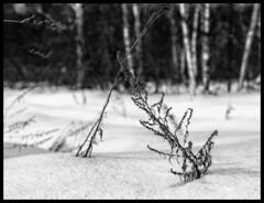 Winter forest / Зимний лес (dmilokt) Tags: природа nature пейзаж landscape лес forest дерево tree снег snow dmilokt dof чб bw черный белый black white nikon d850