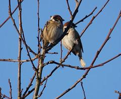 Zusammen hoch hinaus (binaryCoco) Tags: vogel bird sonne sunlight licht frühling light springtime tier animal natur nature feathers feders wings flügel sparrow spatz sperling