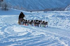 _ROS5143-Edit.jpg (Roshine Photography) Tags: dogteam yukonquest yukonriver musher snow environmental ice dawsoncity yukon canada ca