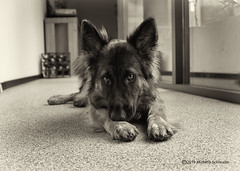Sad girl (Michelle Schreuder) Tags: dog hond pet huisdier nora oldgermanshepherd oudduitseherder herder shepherd german duits duitsland germany beautiful mooi beauty cute lief schattig bw blackandwhite zwartwit michelleschreuder nikond7200 breda noordbrabant thenetherlands