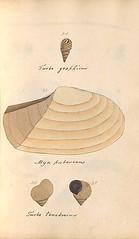 n50_w1150 (BioDivLibrary) Tags: greatbritain mollusks museumsvictoria bhl:page=57640221 dc:identifier=httpsbiodiversitylibraryorgpage57640221 conchologicaldictionary conchology shells britishisles britishislands williamturton british