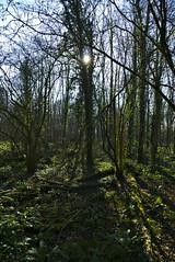 Trees (Steven Tyrer) Tags: trees backlight sun green sony a6000 zeiss