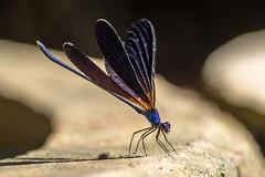 Vestalis luctuosa (Gabor's dragonflies and damselflies) Tags: anisoptera calopterygidae damselfly dragonfly odonata szitakötő vestalisluctuosa zygoptera egyenetlenszárnyú nagyszitakötő szitakötők glagah jawatimur indonesia id naturemacrowildanimalinsectbohol