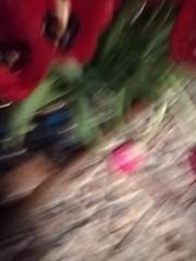 Blurred (daveandlyn1) Tags: blurred indoors tulips wissshhh psdigitalcamera cameraphone smartphone pralx1 p8lite2017 huawei