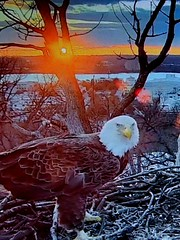 Liberty - SCREENSHOT - 3-5-2019 (1) (THE Halloween Queen) Tags: eagles eagle wildlife bald baldeagles nationssymbol patriotic
