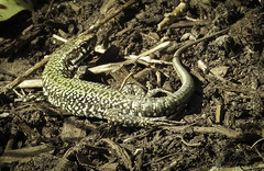 spring lizard (axiepics) Tags: lizard vegetation twigs bark monotones