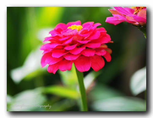 Lady in pink - Zinnia.