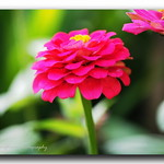 Lady in pink - Zinnia. thumbnail