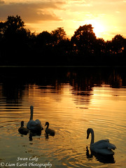 Swan Lake (liamearth) Tags: earth shore sky mountain sceneic wilderness beautiful view outdoor water western landscape wild traveling real life camping serene mountainside still clear texture contrast bay colour rock field lake river garden rocks animal clouds coast beach sunset silhouette dusk waterscape swan pond fishing trees ripple shrewsbury walford shropshire england cygnet