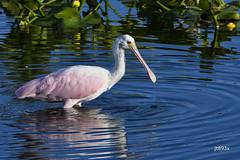 Roseate Spoonbill (jt893x) Tags: 150600mm bird d500 jt893x nikon nikond500 plataleaajaja roseatespoonbill sigma sigma150600mmf563dgoshsms spoonbill waterbird thesunshinegroup coth5 sunrays5 ngc