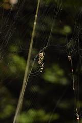 DSC_6680 (Hachimaki123) Tags: 所沢航空記念公園 tokorozawaaviationmemorialpark 日本 japan 所沢市 埼玉県 所沢 tokorozawa saitama animal 虫 動物 arachnid arácnido araña spider クモ