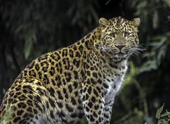 Chinesischer Leopard (Fritz Zachow) Tags: leopard chinesischer tierpark hagenbeck hamburg raubkatze raubtier deutschland germany