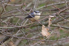 Nuthatch (Derek Morgan Photos) Tags: dintonpastures hurst winnersh woodley leafarm nuthatch