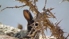 Conejo (Br_Gim) Tags: autofocus desenfoque conejo petrola blur blurred animal