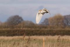 0M2A6390 Barn Owl (kevin_livesey) Tags: owl barn bird birdwatching wwt mere martin